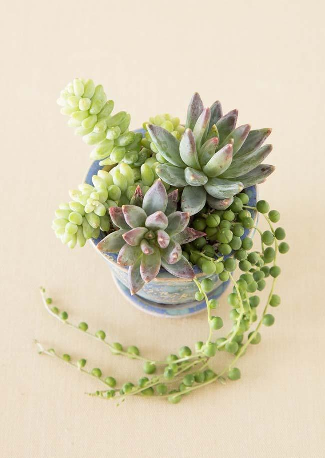 Three species of succulents of the genus Sedum in a single vase