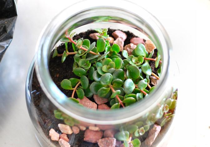Brilliantine has oval and small leaves