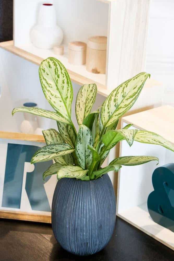 Aglaonema with well-marked leaves