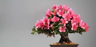 How to care for the azalea: tips for planting indoors and outdoors